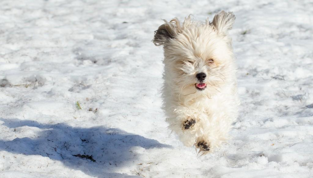 Bernhard, Sävast slöaste hund kan springa! Bichon Havanais.