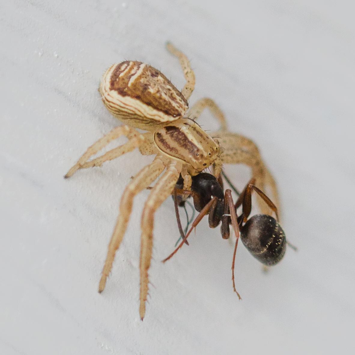 Spindel vs myra