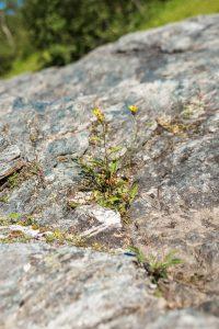Kärvt klimat för dessa blommor, knappt någon jord, hyfsat kalla vintrar och en och annan översvämning...
