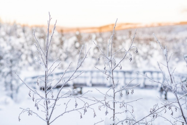 Frostiga kvistar i Storforsen.