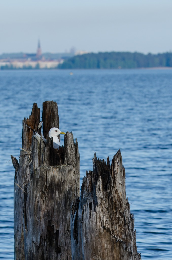 Fågel i bo med trevlig utsikt! Vid Tyskmagasinen i Luleå.