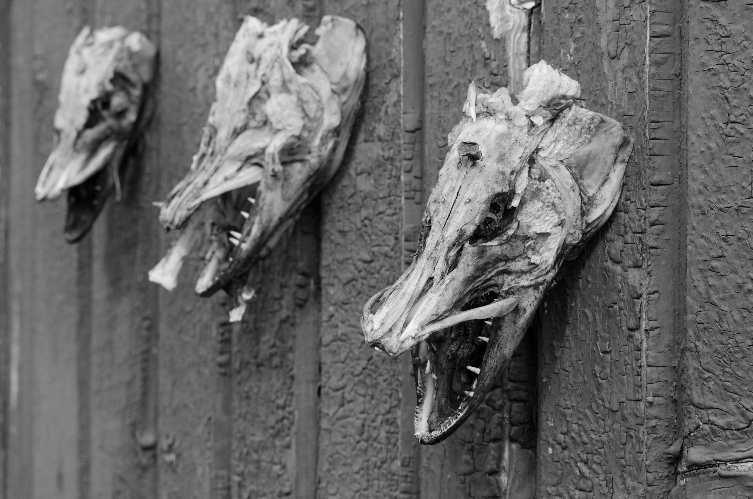 Dessa gäddhuvuden var upphängda på en gammal arbetsbaarck. Man kände sig inte välkommen...