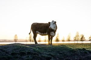 Kor med vacker utsikt i Sunderbyn.  Ser helt klart ut  som ledaren!