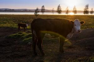 Kor med vacker utsikt i Sunderbyn.