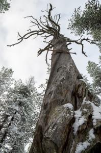 Rikti Dokkas 2014.  Storfuran som skogshuggarna inte lyckades fälla. Men trädet dog av försöken. Vackert!