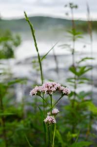 Blomma med mäktig utsikt över vattnet.