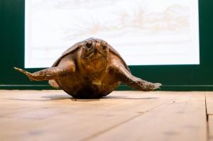 Sköldpaddan ser ut att flyga fram från det här perspektivet.