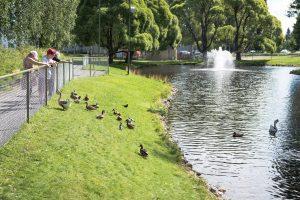 Mysiga Svandammen i Skellefteå. Nu var det verkligen mycket fåglar på plats!