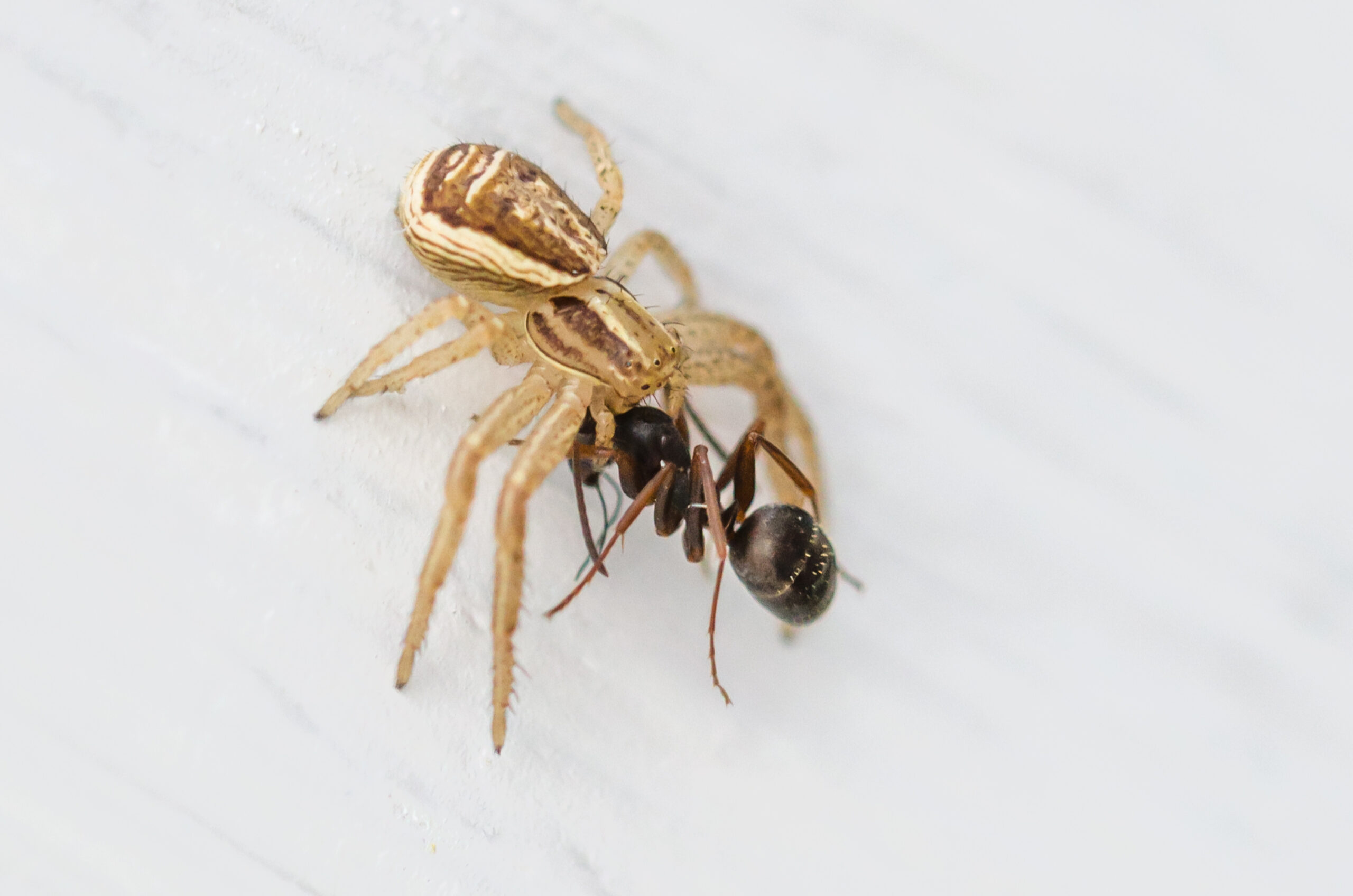 Spindel mot myra.
