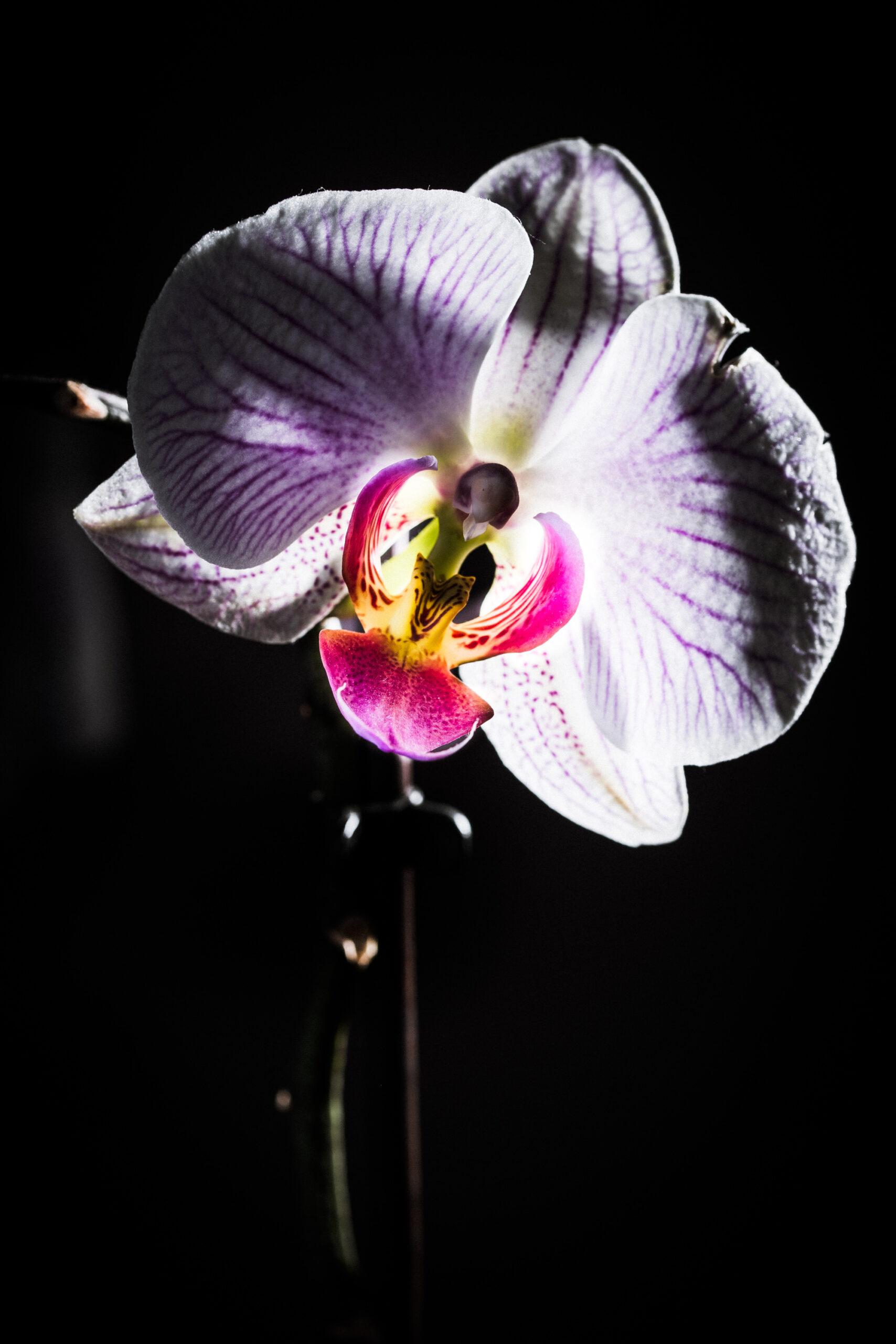 Orkidé.