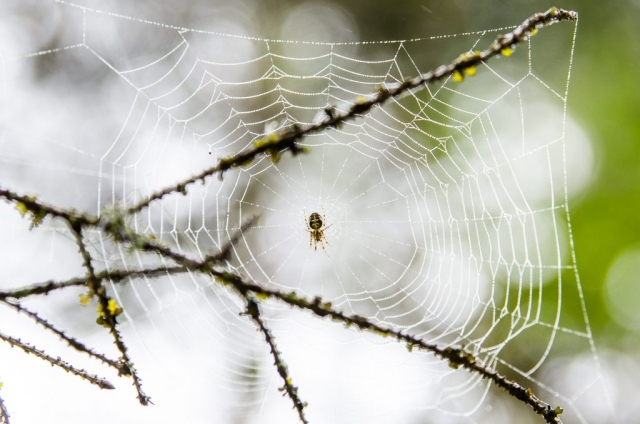 Spindel i nät. Sävast.