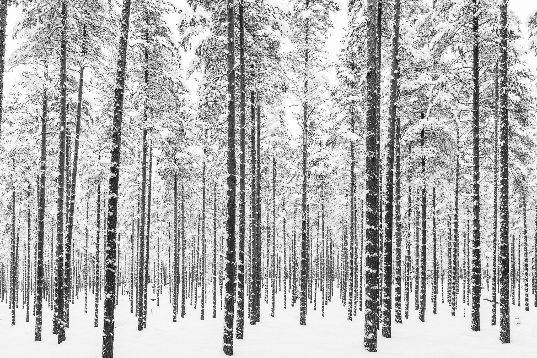Svartvit skog. Man ser ju inte skogen för alla träd, och snö.
