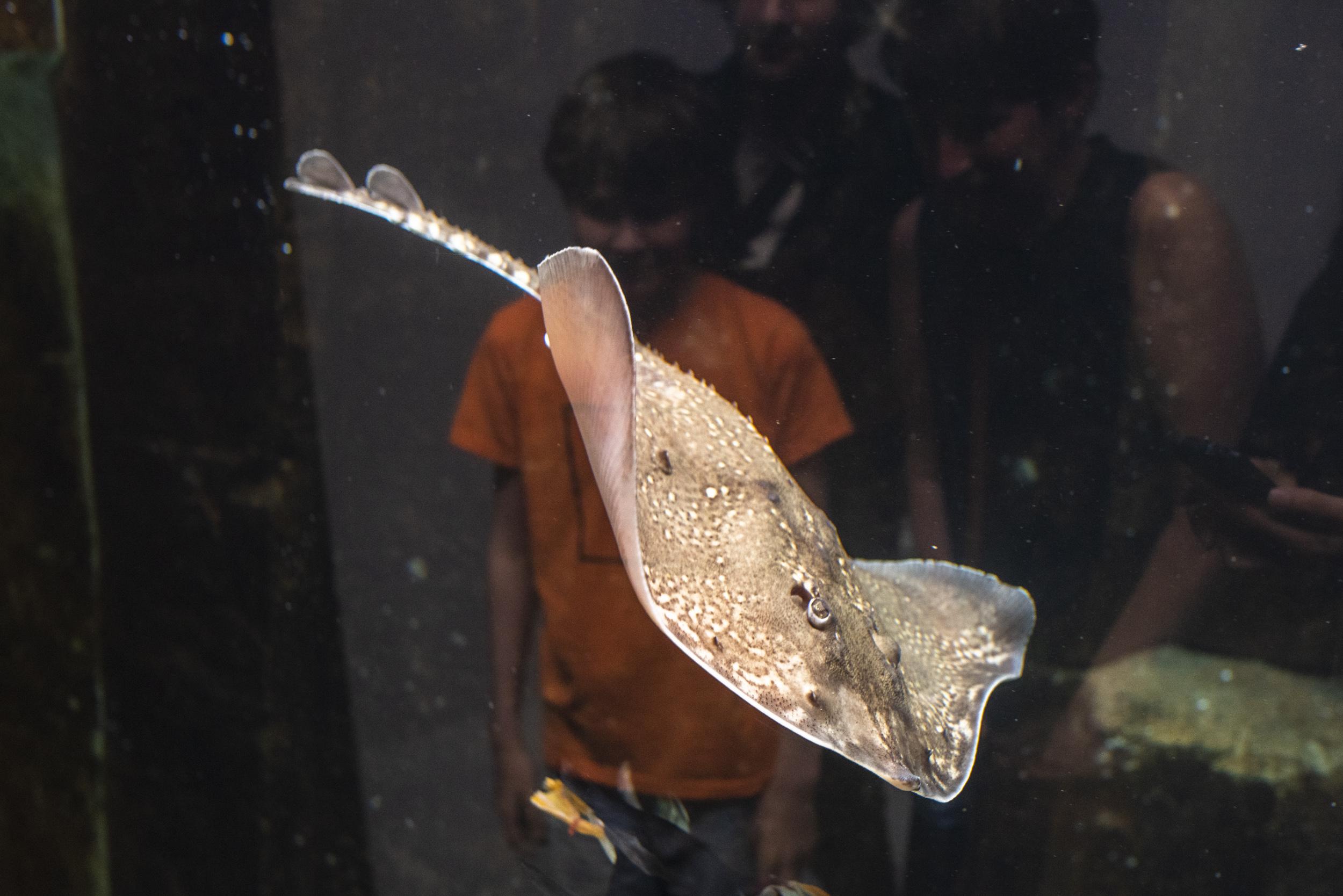 En rocka, en av många intressanta fiskar.