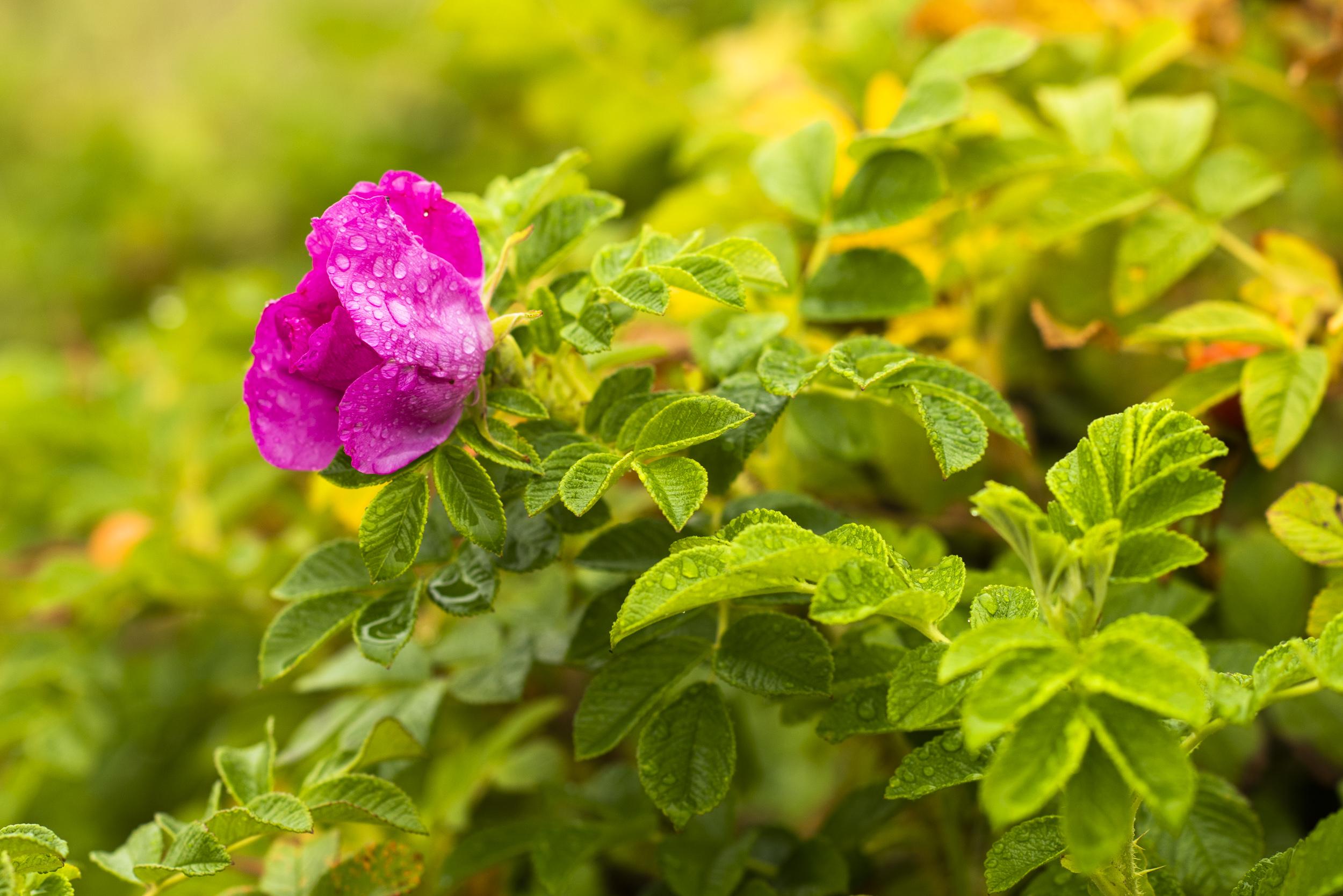 Regnvåta rosor.