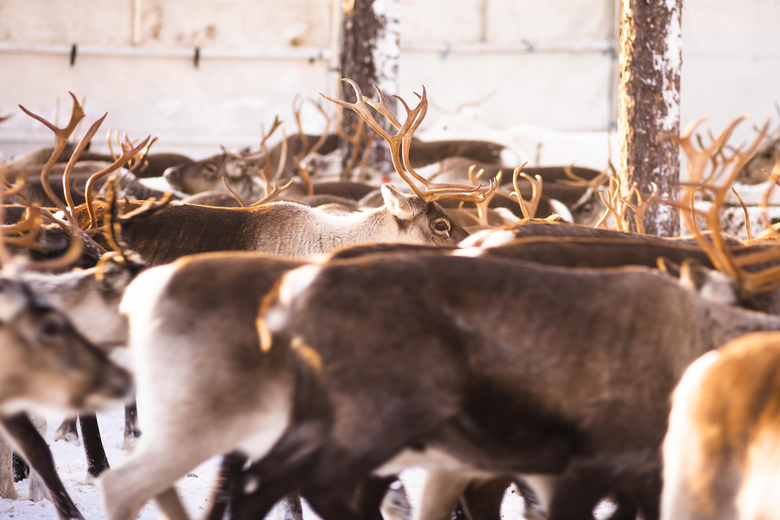 Mäktig syn med alla renar.
