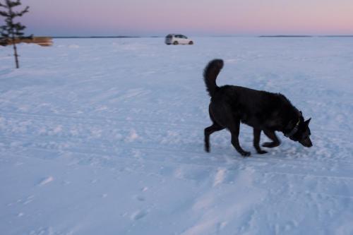 Luleå skärgård en tidig morgon i mars. Kul med hundbesök på isen!