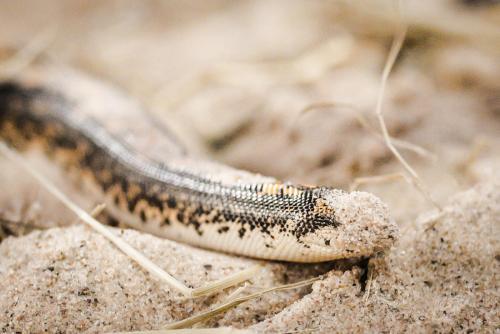 Här s en orm som avr fenomenalt bra på gömma sig i sanden!