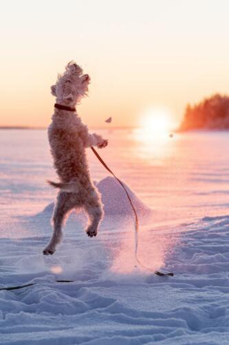Charlie, vår Soft coated wheaten terrier hade så kul utanför Rörbäcks camping. Gissa om det finns studs i dessa ben?!